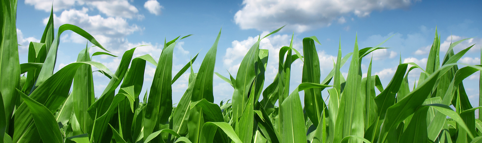 Corn Sky